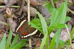 Mexikanischer Schmetterling