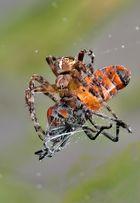 Mi araña flamborita...
