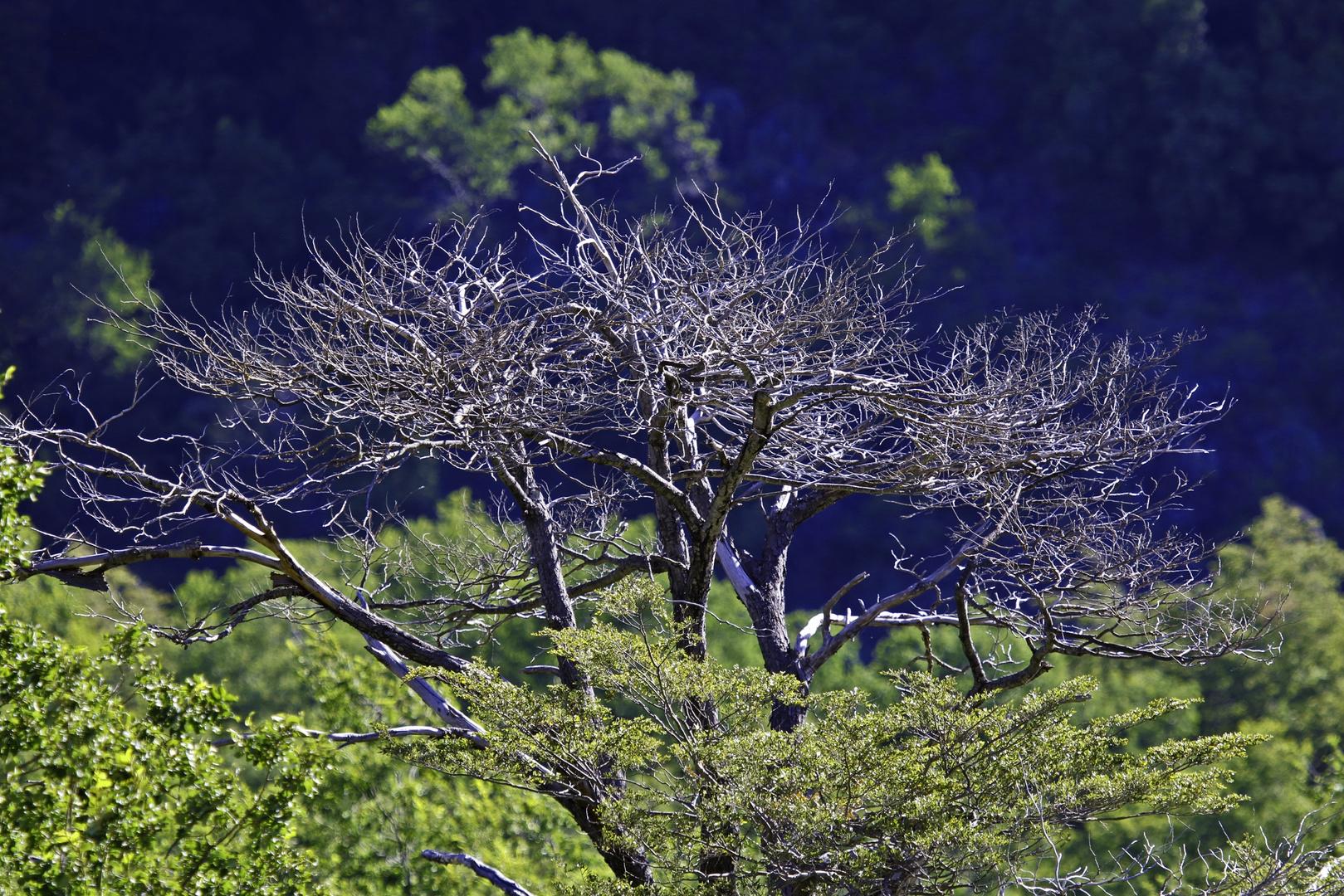 Mi árbol más amado..está muerto y en ese estado es más bello