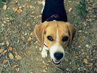 Mi beagle bonita