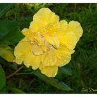 Mi Cayena Amarilla
