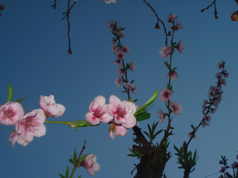 mi flor de durazno