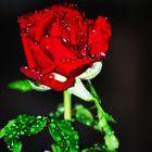 mi rosa y su rocio