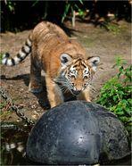 """""""Miau, ich bin ein gefährlicher, großer Tiger und ich mach Dich jetzt fertig Du doofer Ball!"""""""