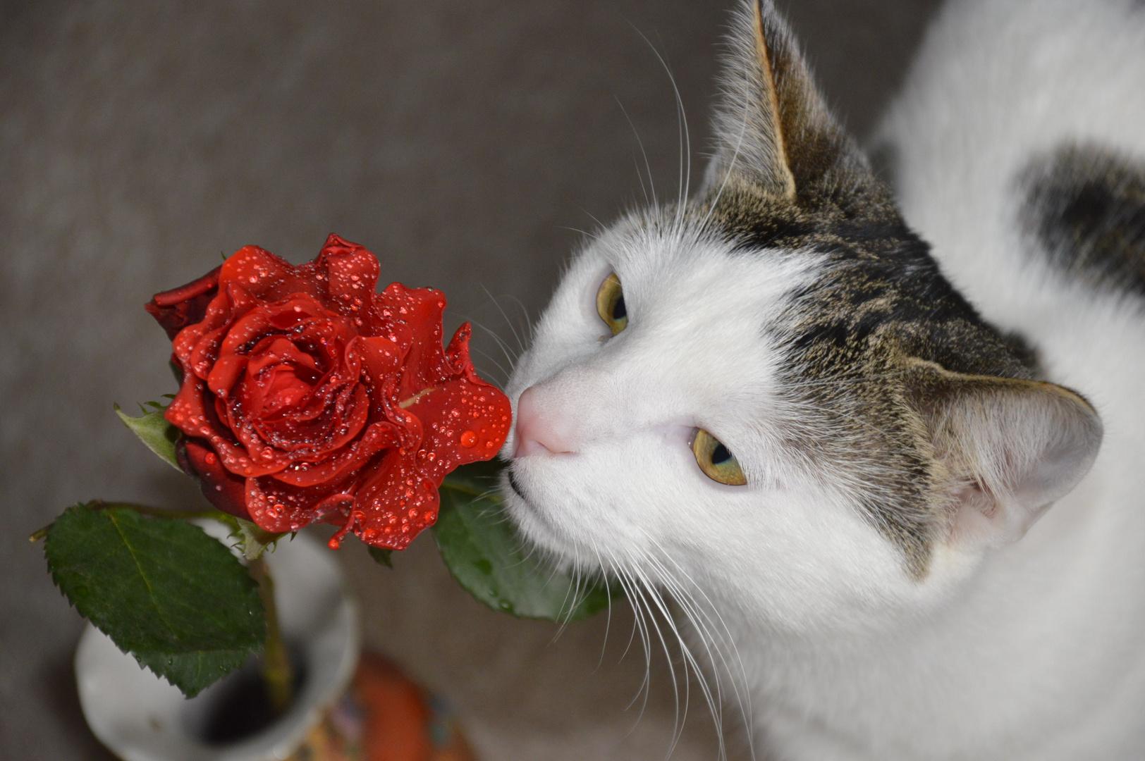 Miau.....v.s Rose