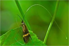 Microlépidoptère, Nemophora degeerella