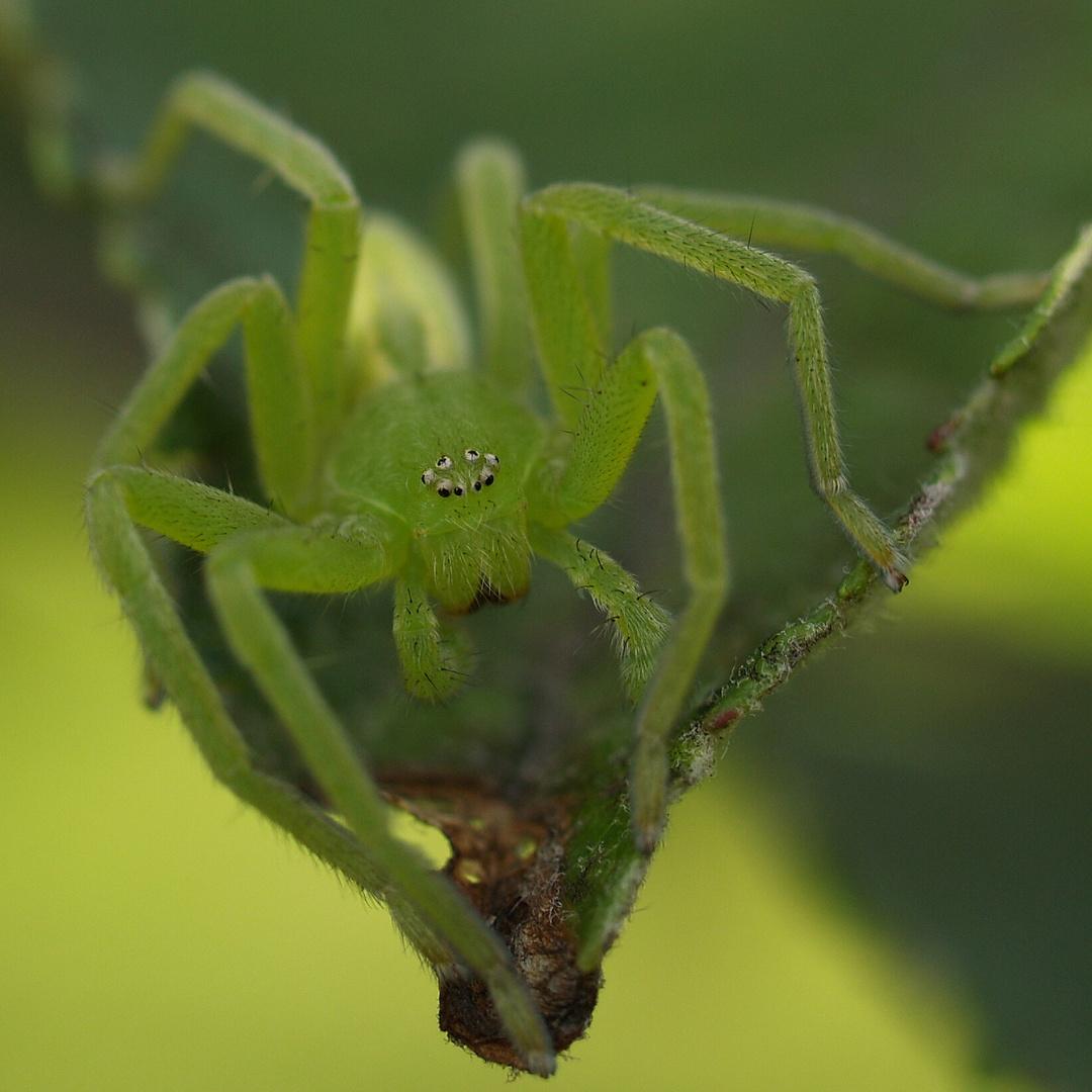 Micrommata virescens - preparing to jump