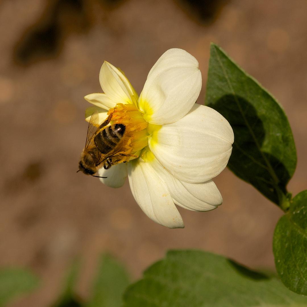 Mignondahlie Sneezy (mit Biene)