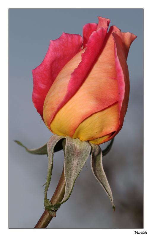 mignonne viens voir si la rose...