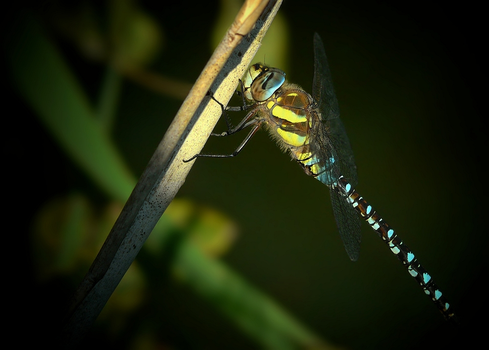 Migrant Hawker by night