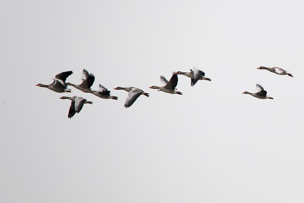 Migration d'oies cendrées