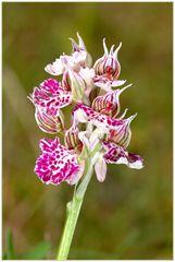Milchweißes Knabenkraut -Orchis lactea