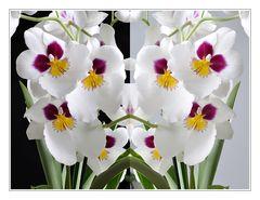Miltonia schwarz-weiß