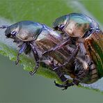 MIMELA JUNII (Duftschmid,1805) Coleoptera Meloidae * COLEOTTERI IN AMORE *