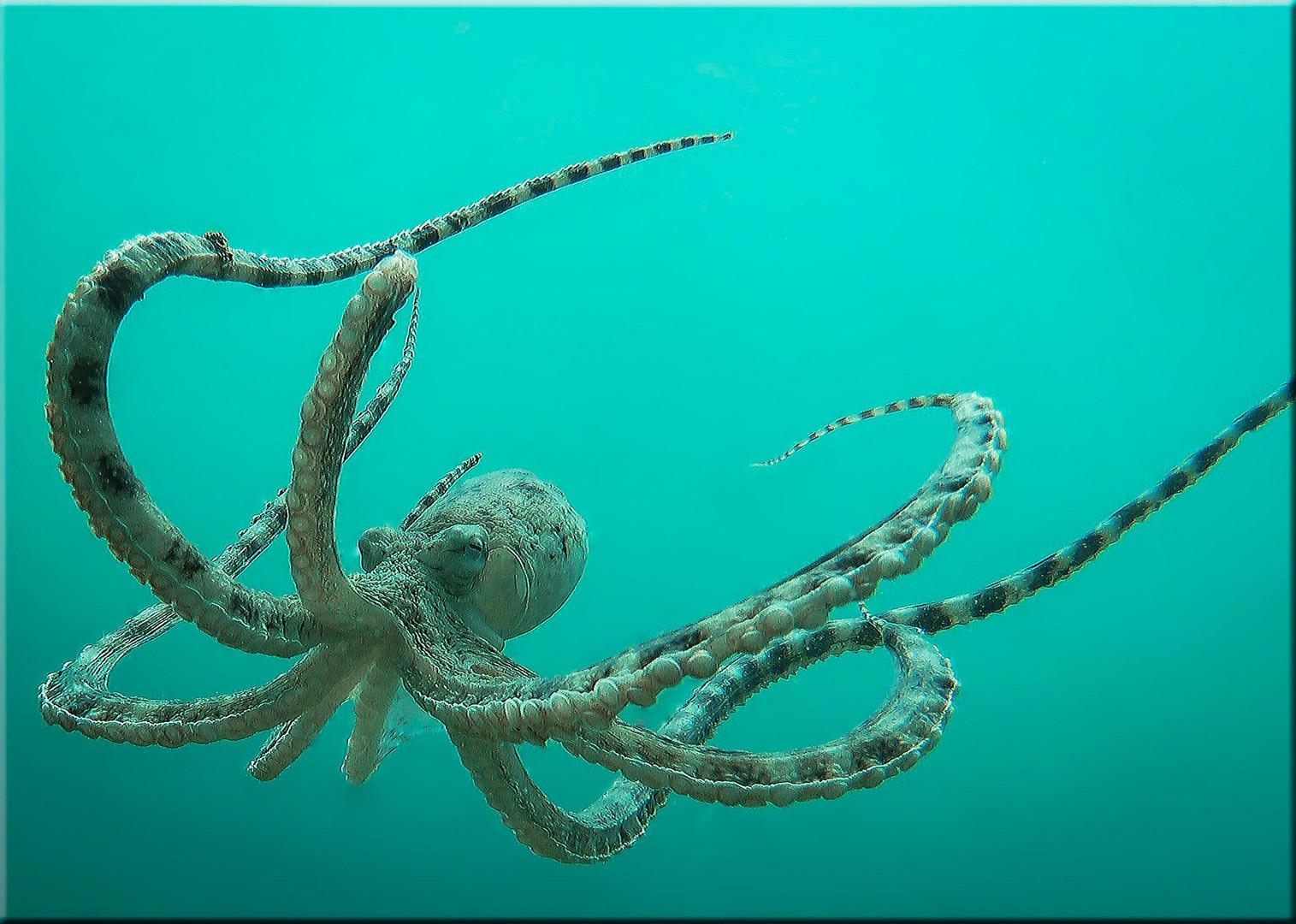 Mimic Octopuss (Neuauflage)