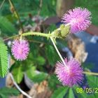 Mimosa Pudica, o sensitive plant o Sleeping grass.