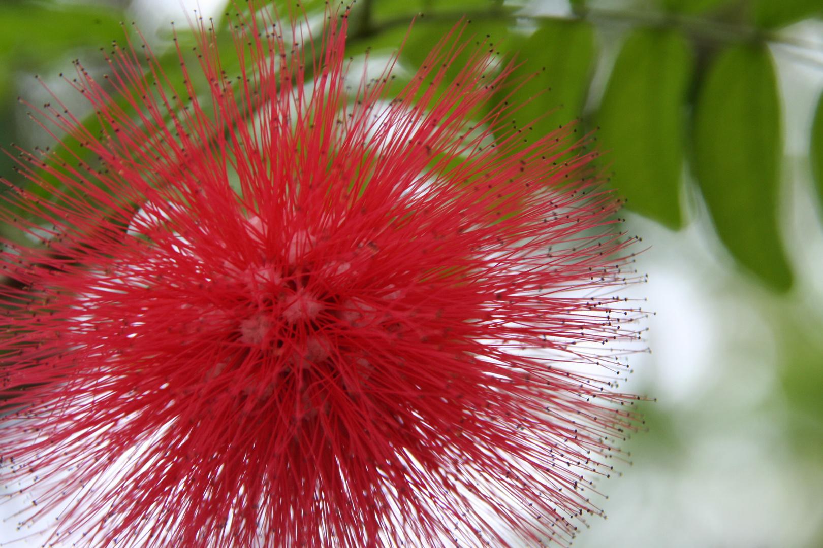 Mimosa Roja