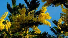 Mimosas au Massif de Tanneron (83) - Mimosen-Massiv Tanneron (Riviera) Januar 2014