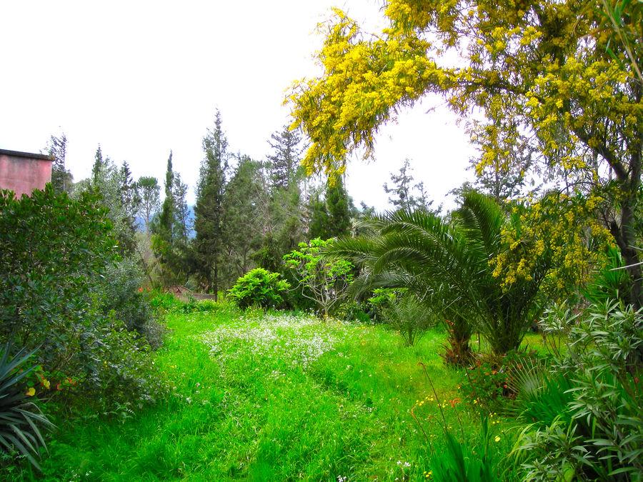 mimose nel giardino
