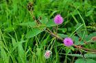 """"""" Mimosenflowers """" , Aklan - Panay 2009"""