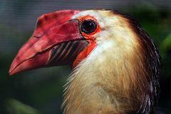 Mindenaohornvogel