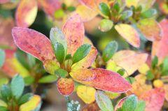 Mini-Azalee im Herbstgewand