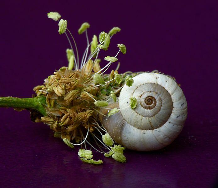 Mini escargot sur fleur de plantain