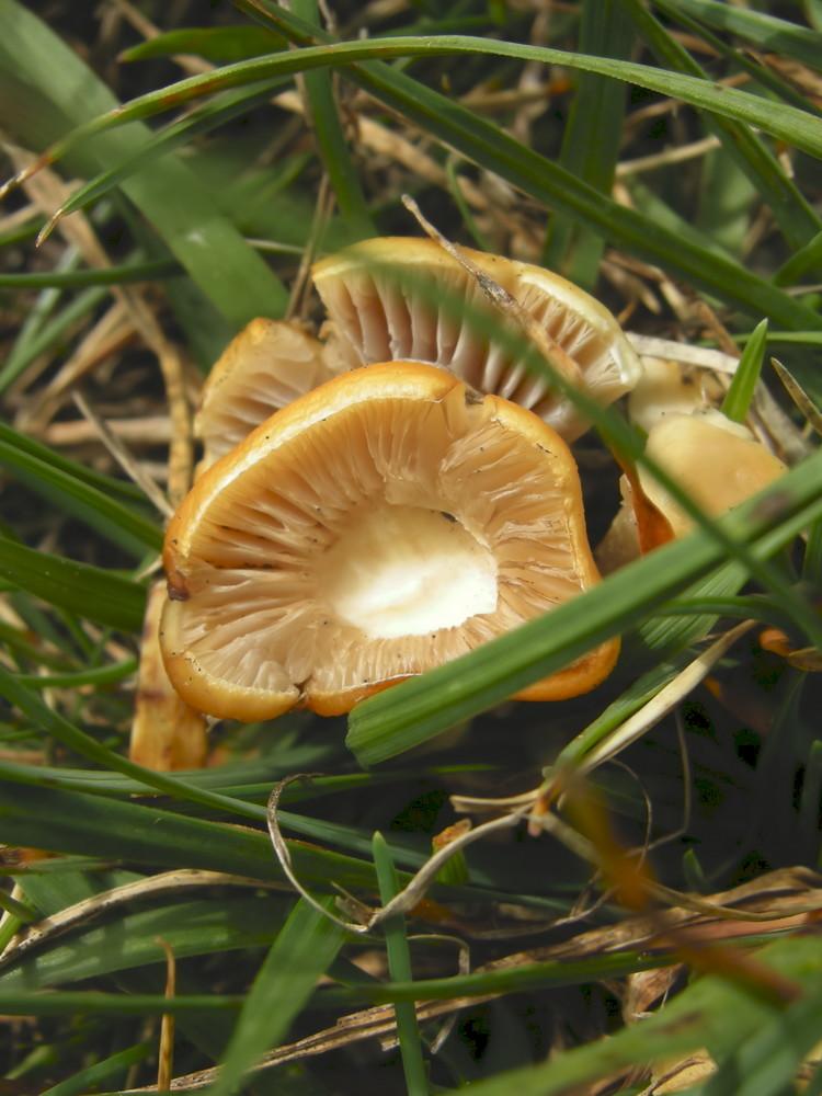 Mini fungo