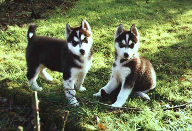 Mini Huskys Foto Bild Tiere Haustiere Hunde Bilder Auf