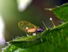 Mini-insecte: Psyllidae! * - Winzige Blattfloh (Psyllidae spec.)! *