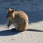 Mini-Känguruh