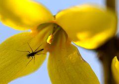 Mini-Mücke in Forsythienblüte
