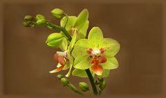 Mini-Orchidee ...