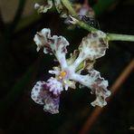 Mini-Orquidea