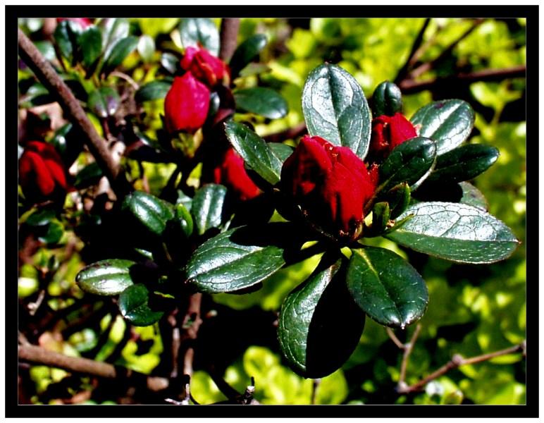 Mini-Rhododendron