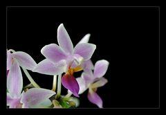 Miniatur-Orchidee