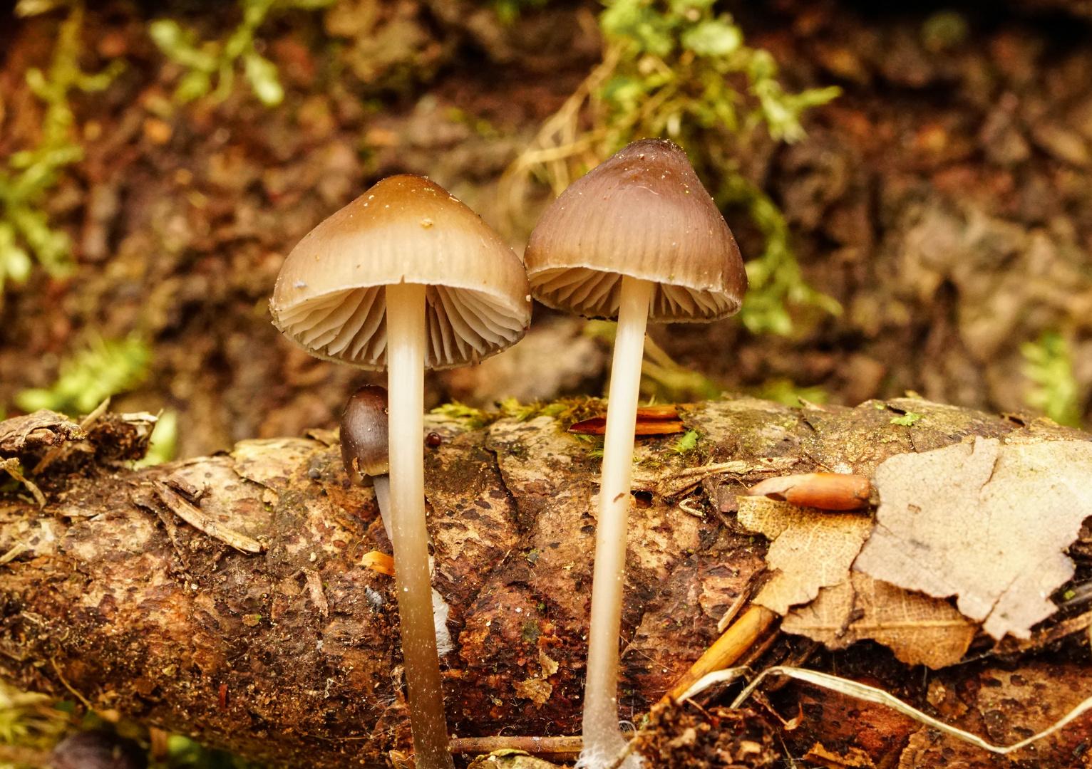 Miniatur-Pilze im März - haben sich wohl in der Jahreszeit geirrt