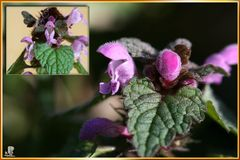 Miniaturorchideen