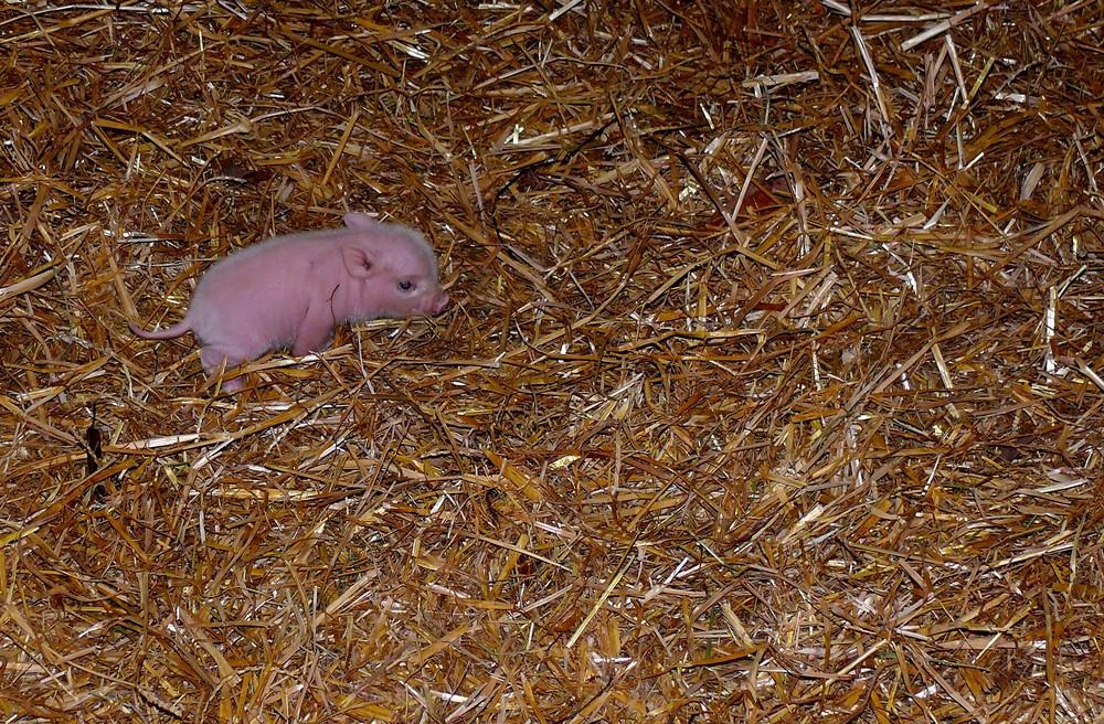 Minischweinchen