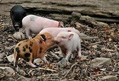 Minischweine im