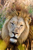 Mir ist so langweilig - Löwe im Swasiland