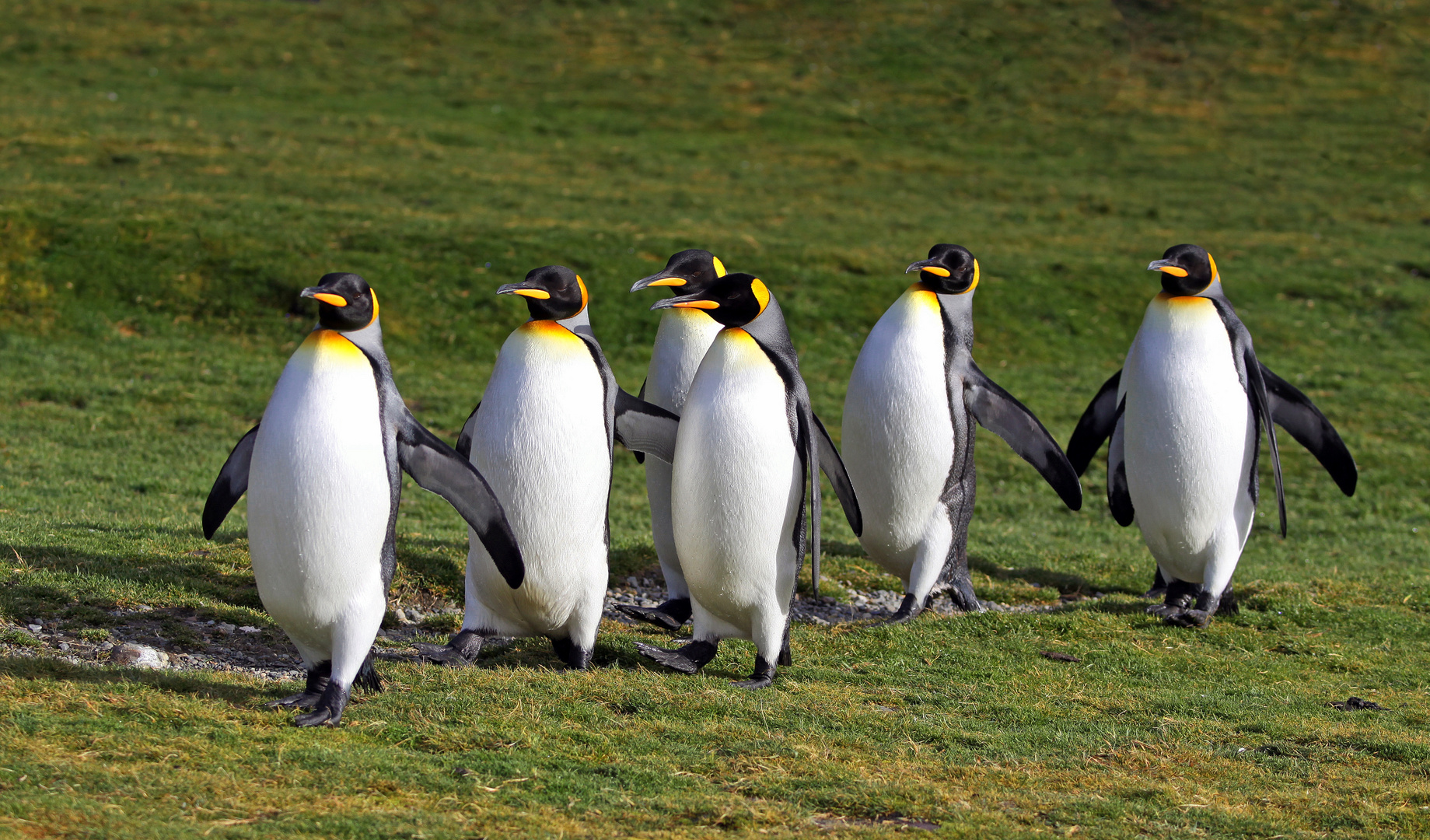 Mir nach, Pinguine !
