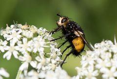 Mir unbekanntes Insekt