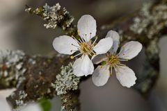 Mirabellenbaumblüte