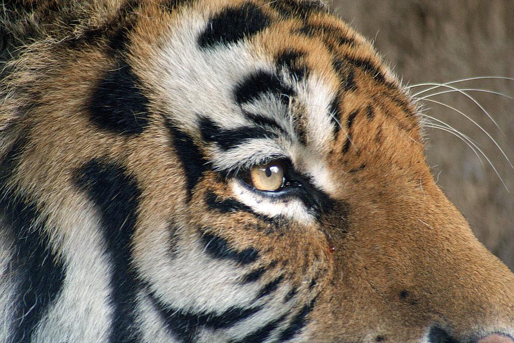 Mirada del tigre