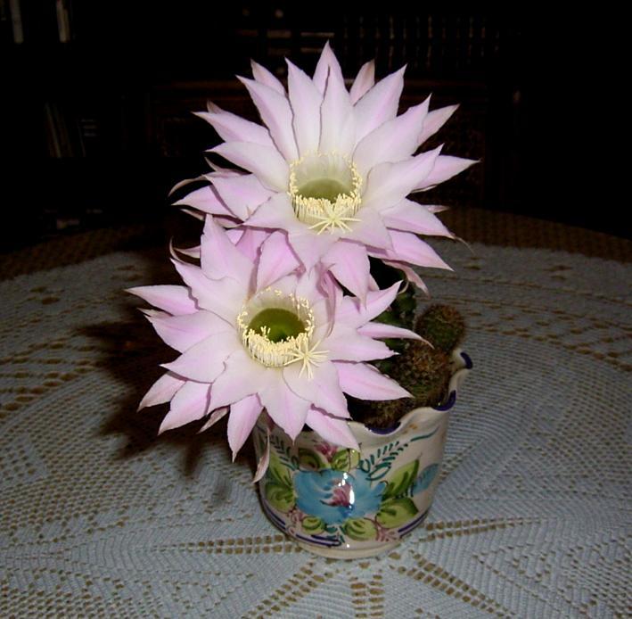 Mis cactus en flor (1)