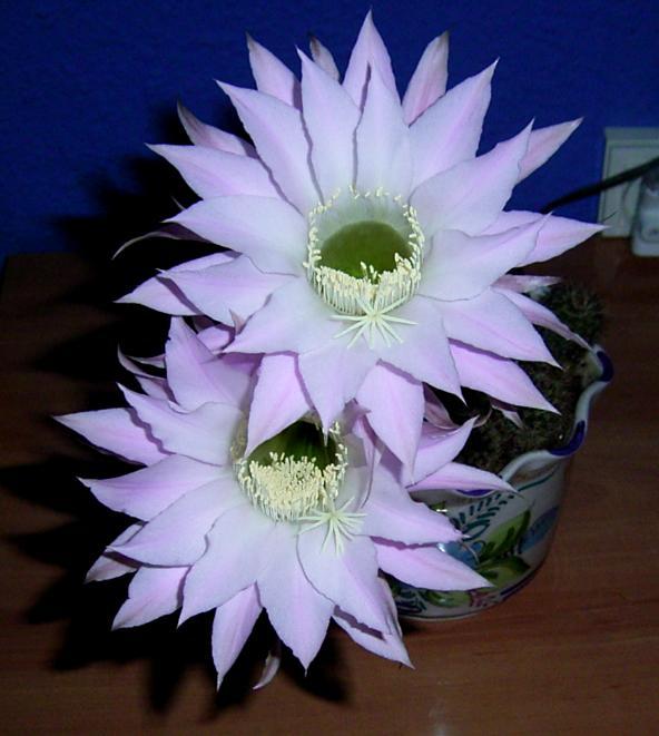 Mis cactus en flor (2)
