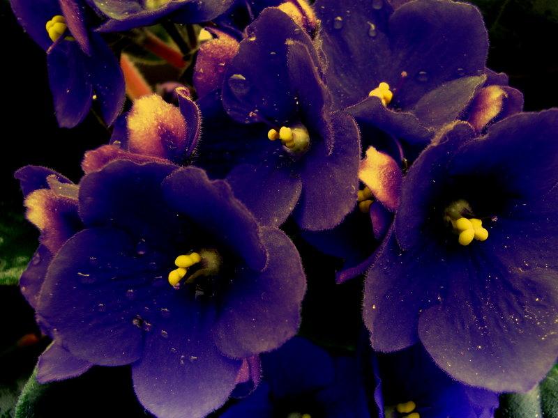 Mis flores preferidas, Las Violetas