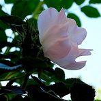 Mis Rosas Salvajes.