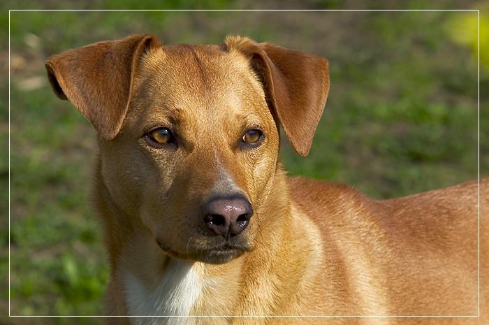 Mischlingshund Benny